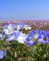 Flowering Atacama Desert