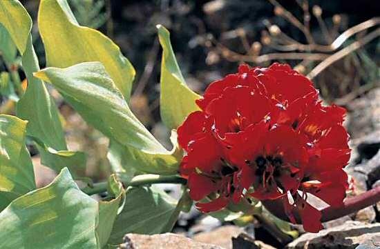 picture garra de le n lion claw flower of the atacama
